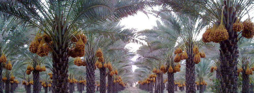 Dates manufacturing and exporting